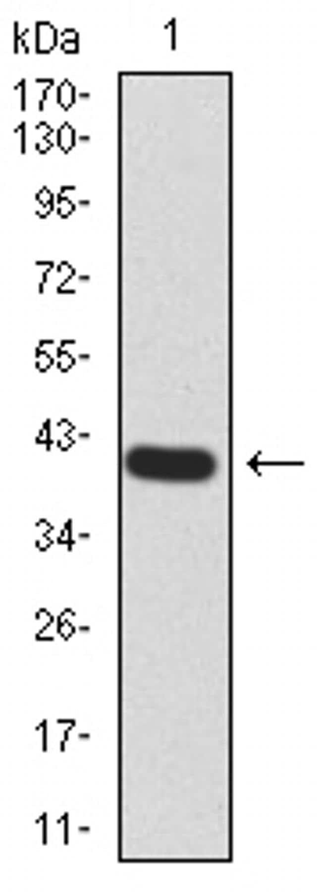 RAB13 Antibody in Western Blot (WB)