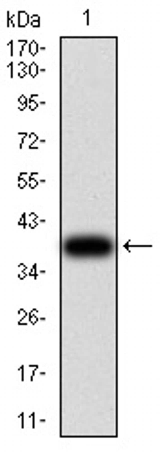 RAD21 Antibody in Western Blot (WB)