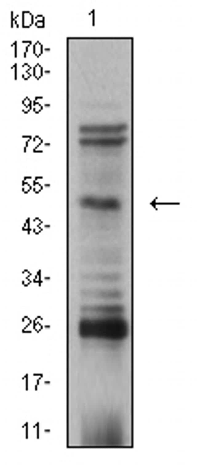 AP2 beta Antibody in Western Blot (WB)