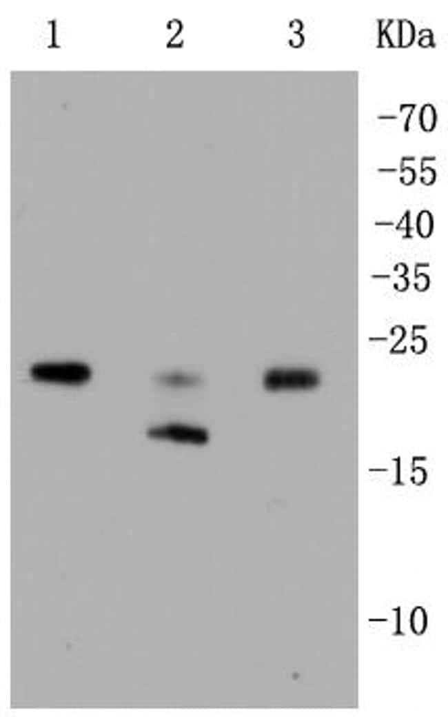 RhoA/RhoB/RhoC Antibody in Western Blot (WB)