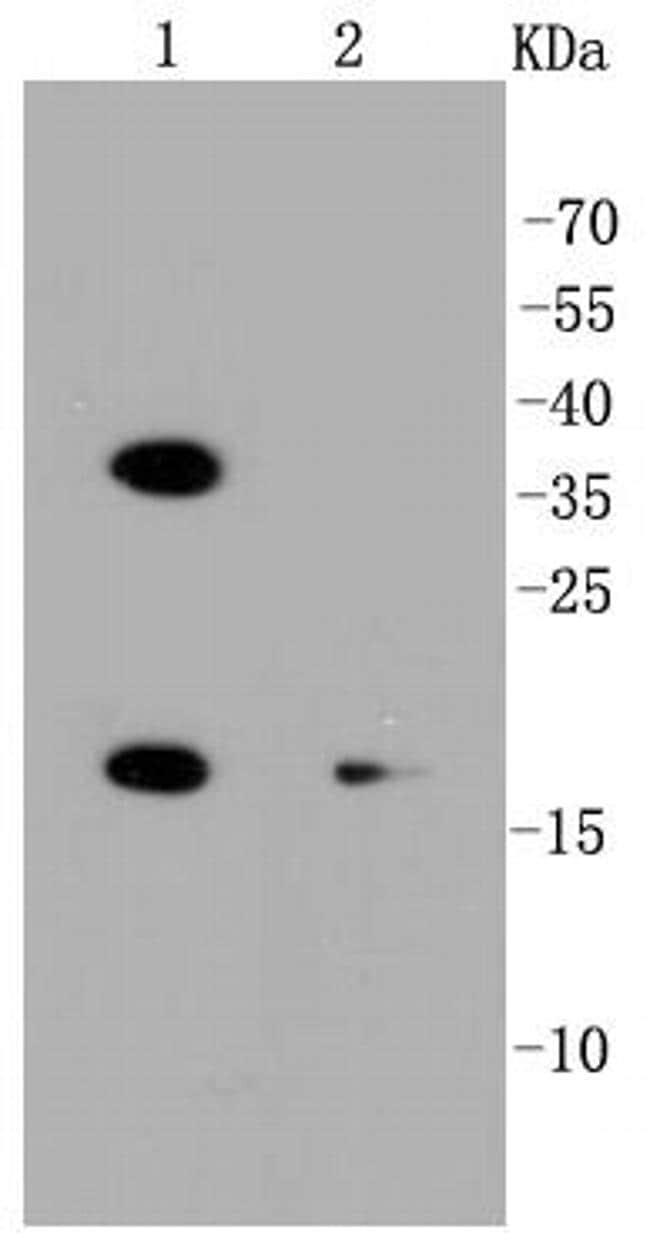 PUMA Antibody in Western Blot (WB)