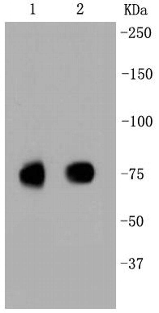 SR-BI Antibody in Western Blot (WB)