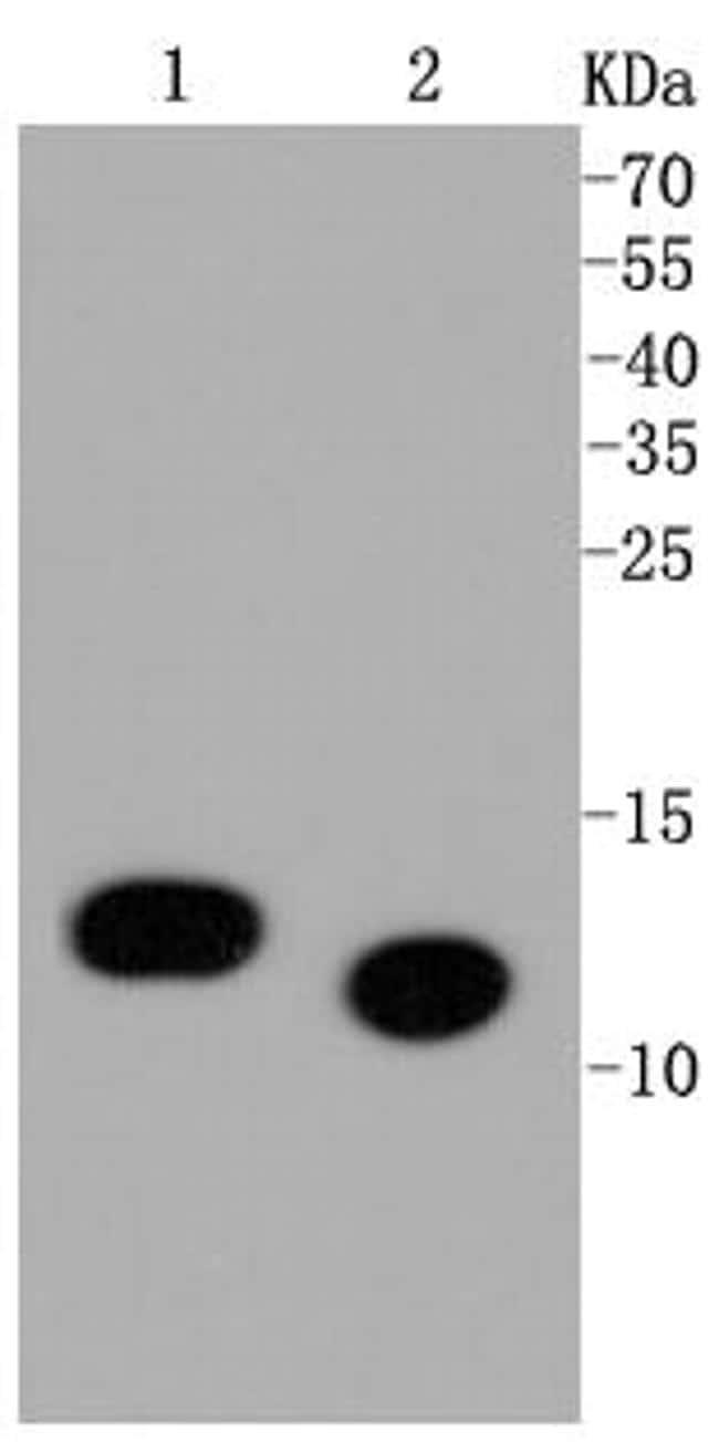 H4K5ac Antibody in Western Blot (WB)