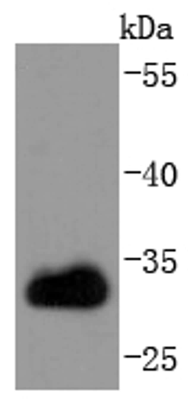 CDK1 Antibody in Western Blot (WB)