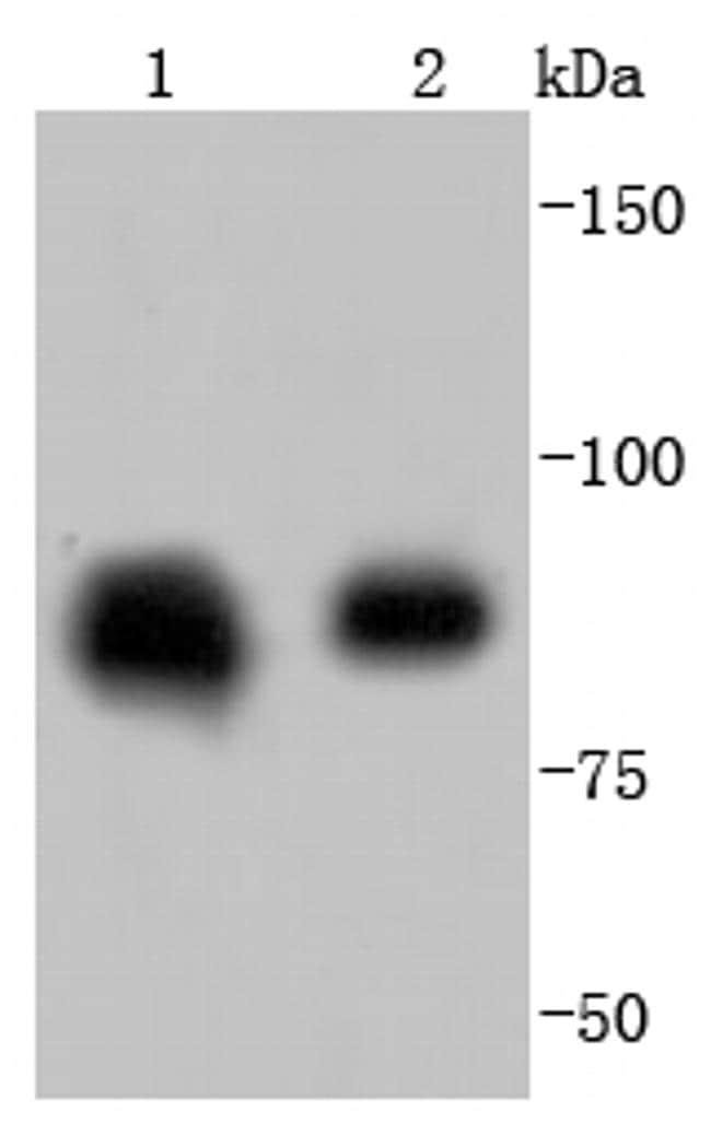 HSP90 beta Antibody in Western Blot (WB)