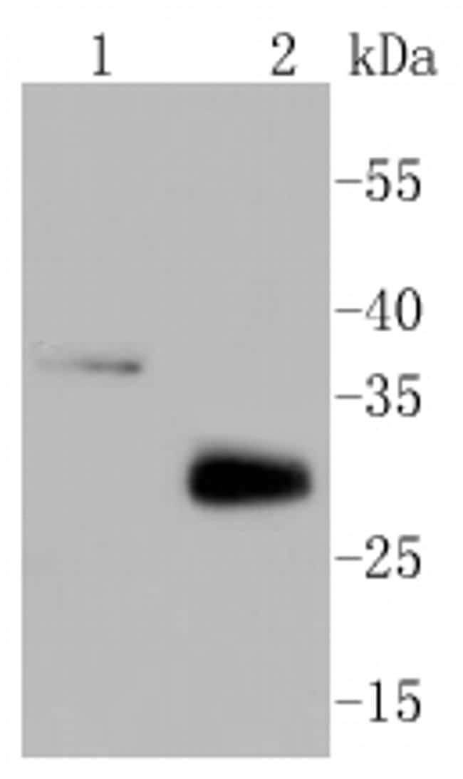 MCL-1 Antibody in Western Blot (WB)