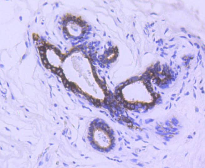 Phospho-GSK3B (Ser9) Antibody in Immunohistochemistry (Paraffin) (IHC (P))