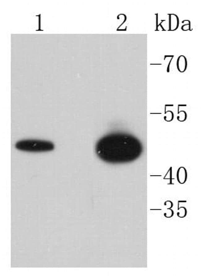 Phospho-GSK3B (Ser9) Antibody in Western Blot (WB)