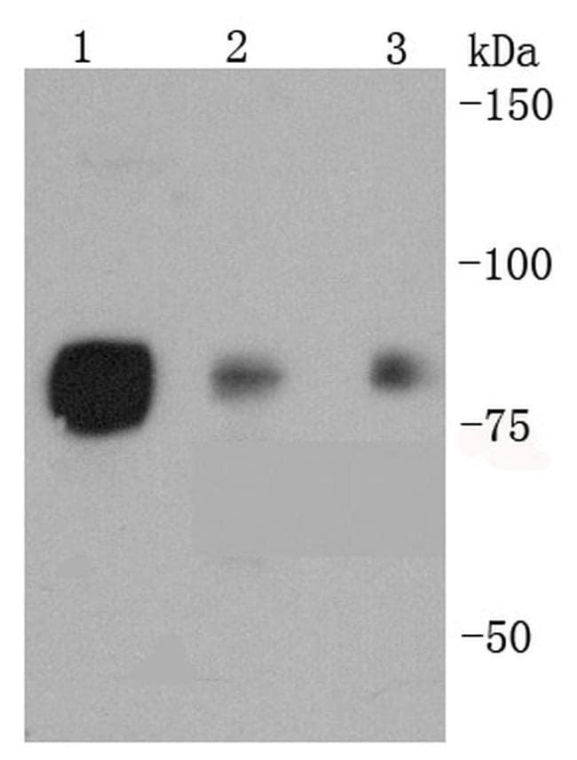 Phospho-HSF1 (Ser326) Antibody in Western Blot (WB)