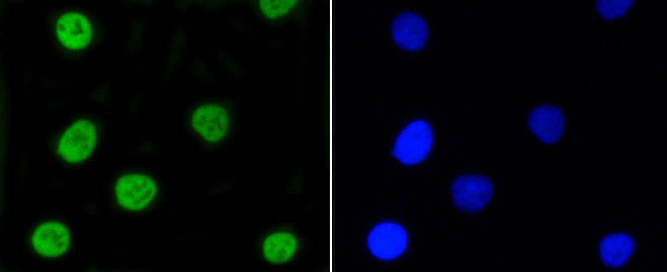 Phospho-Nrf2 (Ser40) Antibody in Immunocytochemistry (ICC)