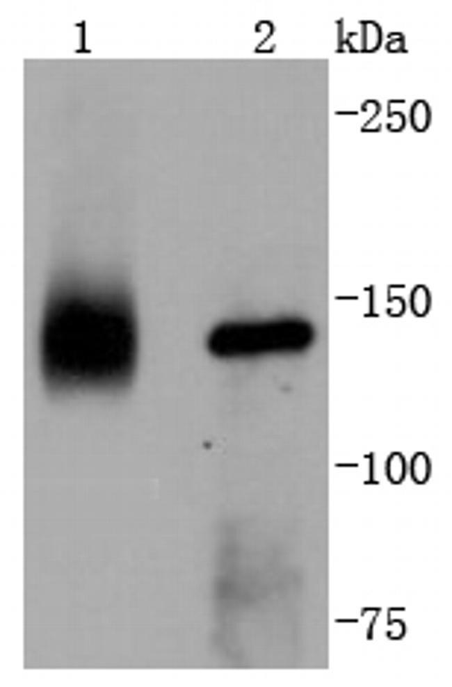 TrkA Antibody in Western Blot (WB)