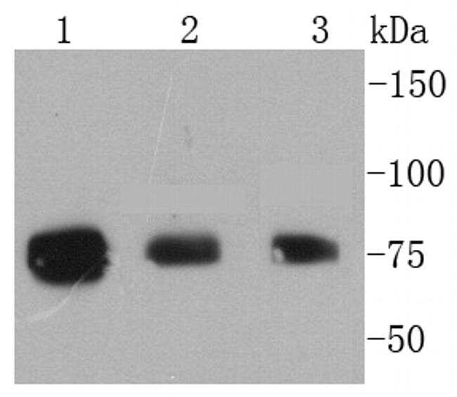 Phospho-RSK1 (Thr359, Ser363) Antibody in Western Blot (WB)