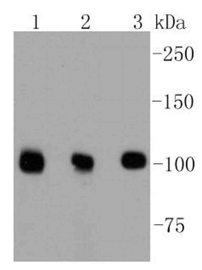 DGCR8 Antibody in Western Blot (WB)