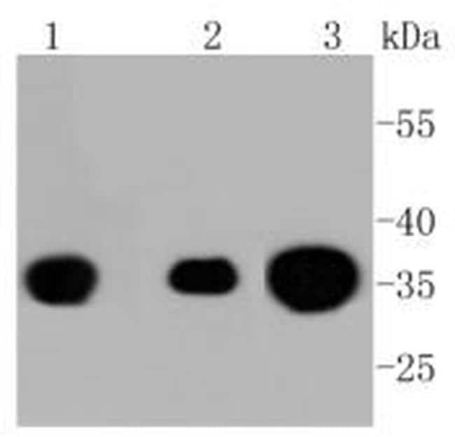 Phospho-PP2A alpha (Tyr307) Antibody in Western Blot (WB)