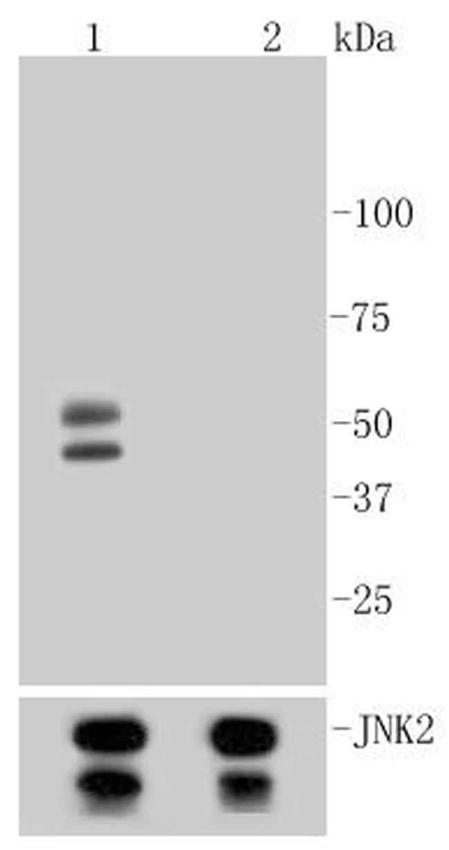 Phospho-JNK1/JNK2/JNK3 (Thr183, Thr221) Antibody in Western Blot (WB)