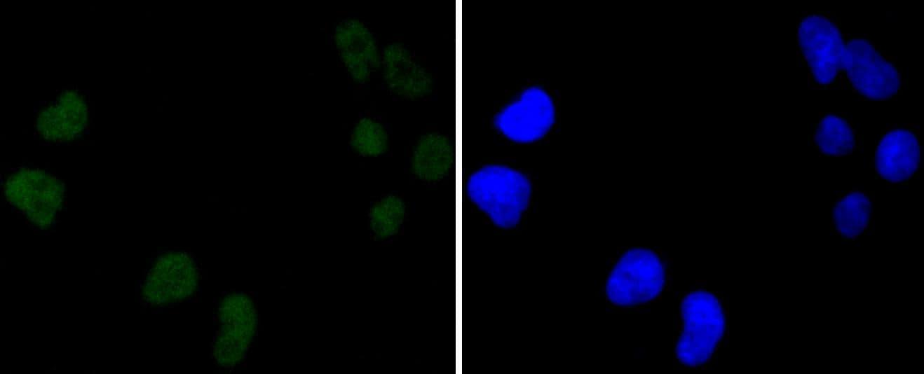 DNA-PK Antibody in Immunocytochemistry (ICC)