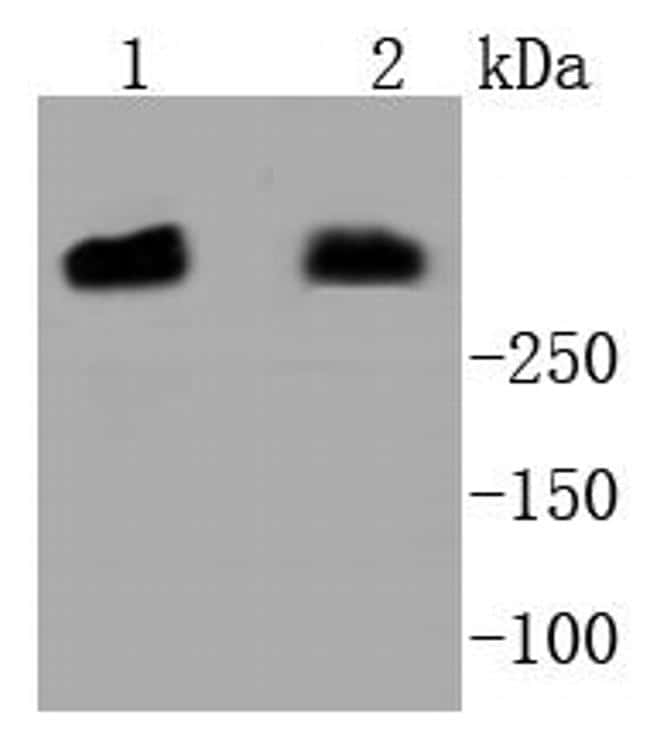 DNA-PK Antibody in Western Blot (WB)