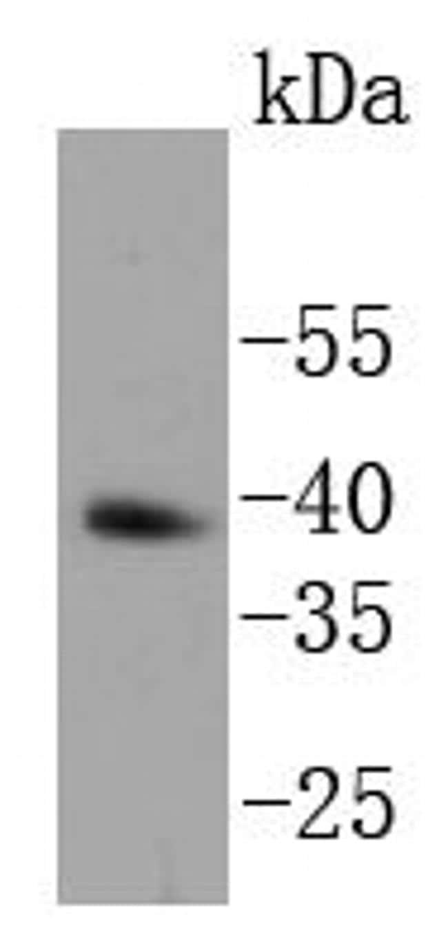 Nanog Antibody in Western Blot (WB)