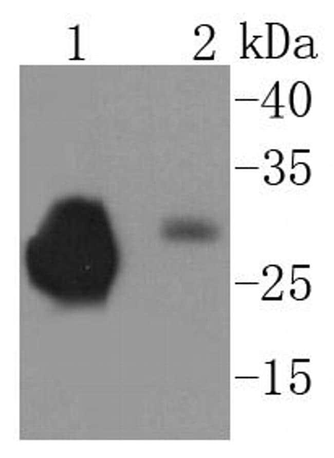 CD230 (PrP) Antibody in Western Blot (WB)