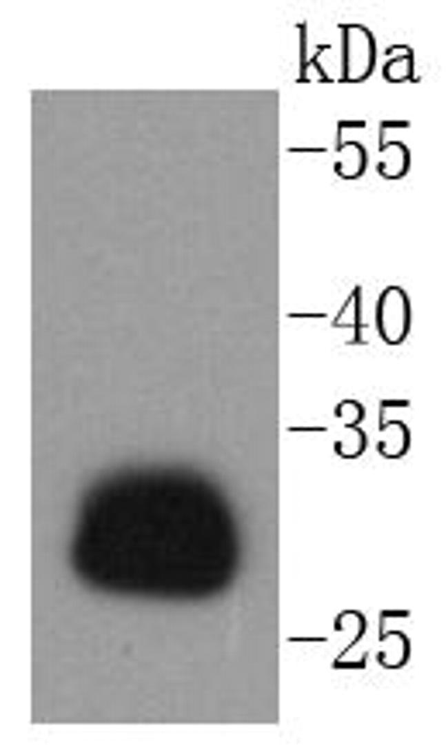 HLA-DR Antibody in Western Blot (WB)