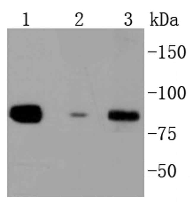 DAXX Antibody in Western Blot (WB)