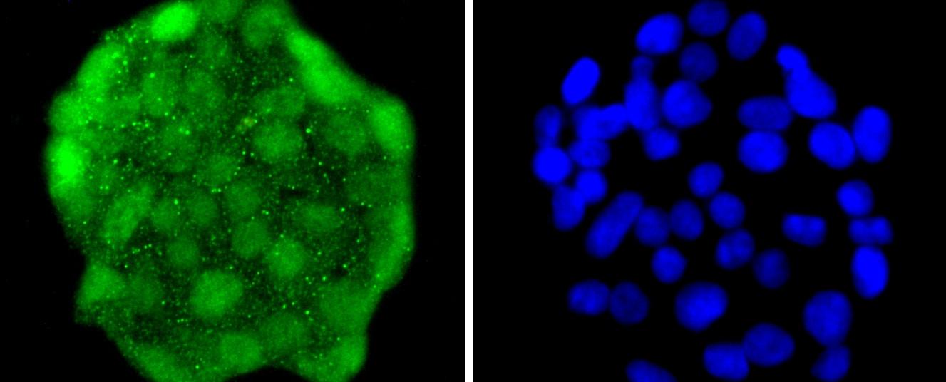 HES1 Antibody in Immunocytochemistry (ICC)