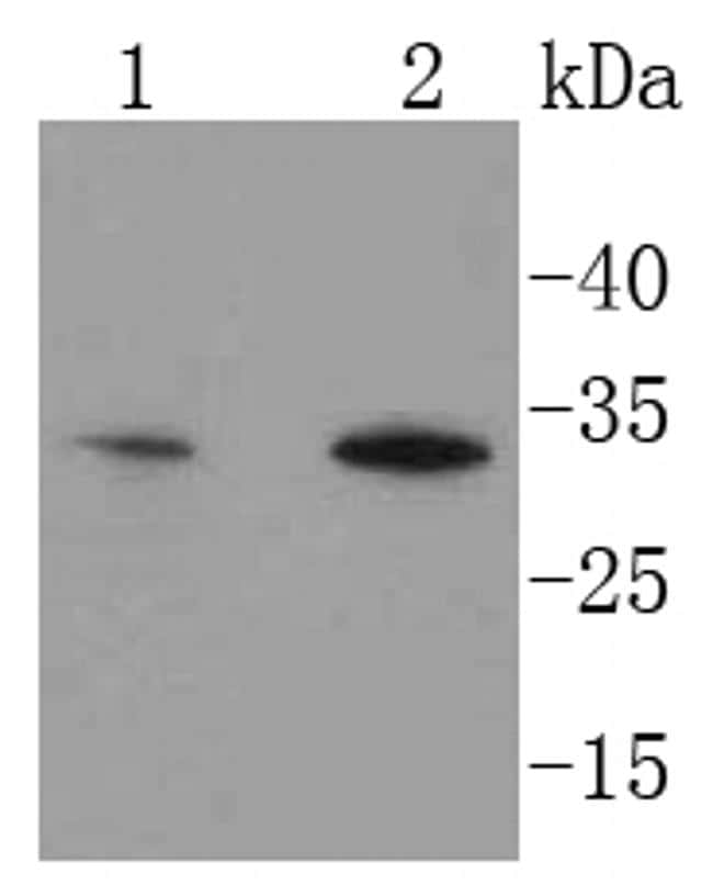HES1 Antibody in Western Blot (WB)