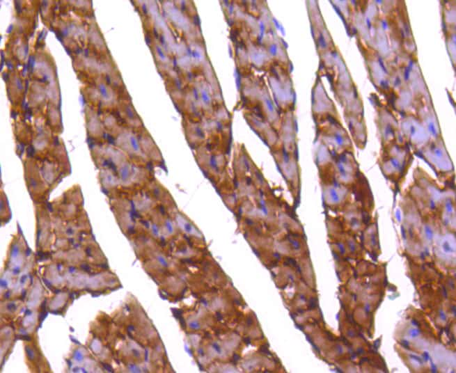 PP2A alpha/beta Antibody in Immunohistochemistry (Paraffin) (IHC (P))