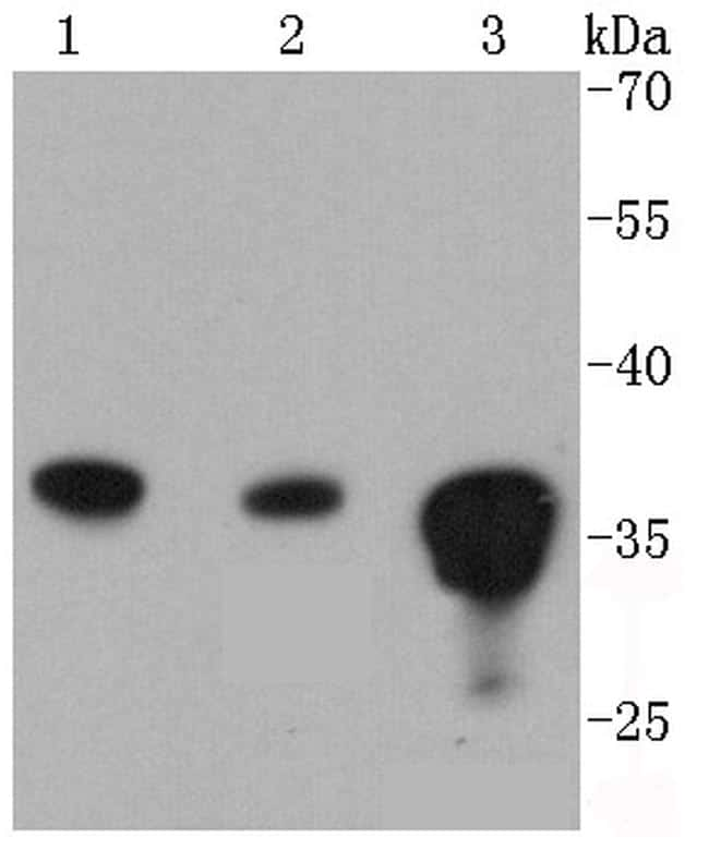 PP2A alpha/beta Antibody in Western Blot (WB)