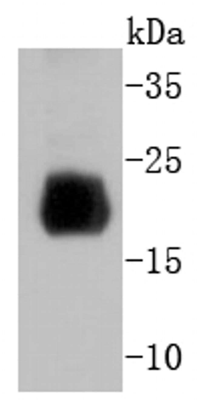 Histone H4 Antibody in Western Blot (WB)