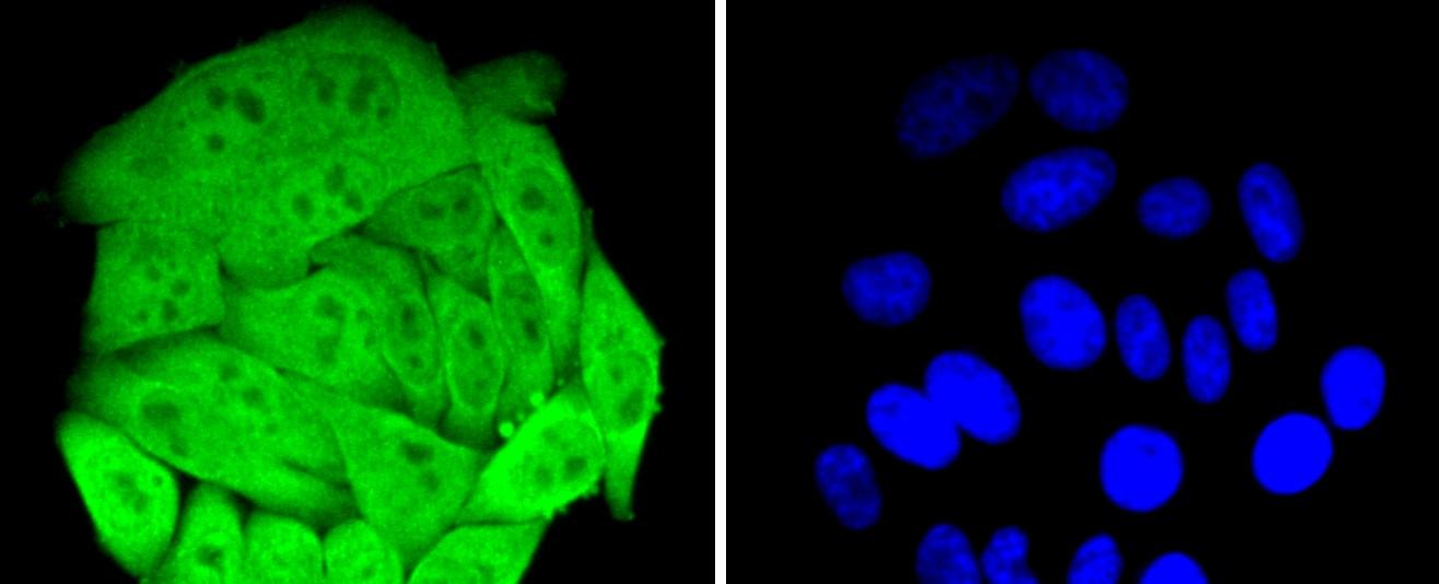 HSPA4 Antibody in Immunocytochemistry (ICC)