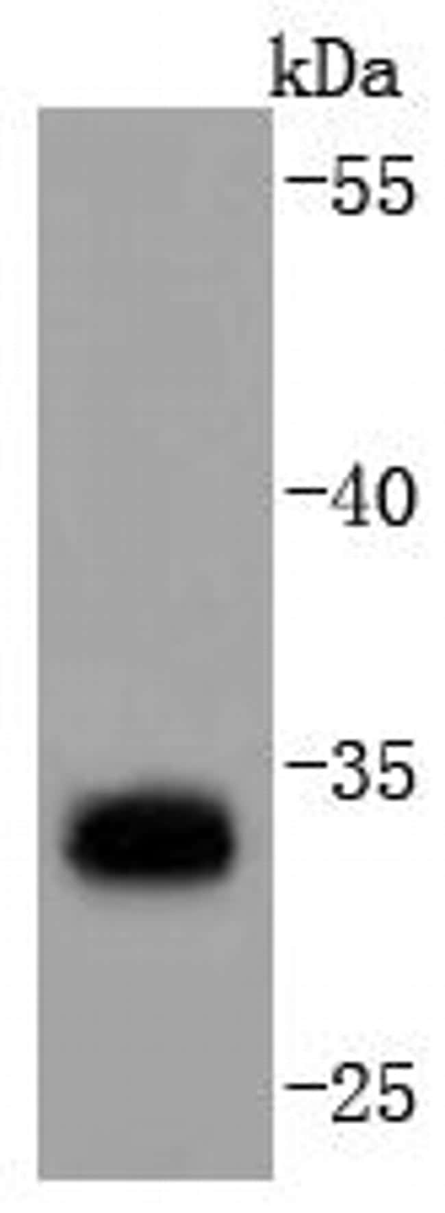 PD-L1 (CD274) Antibody in Western Blot (WB)