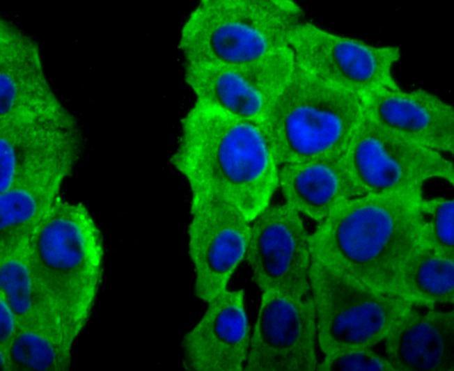 PRDX2 Antibody in Immunocytochemistry (ICC/IF)