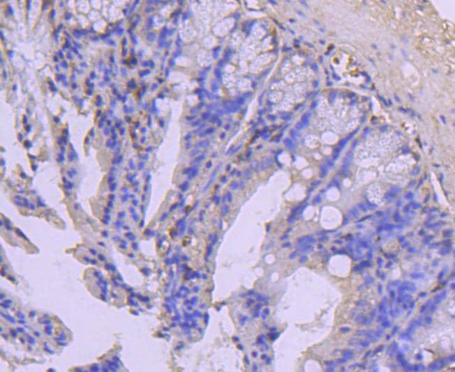 COX4 Antibody in Immunohistochemistry (Paraffin) (IHC (P))
