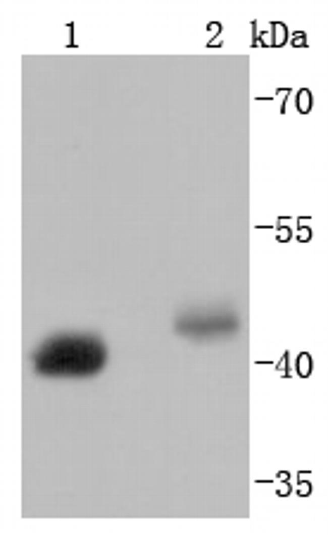 BMI-1 Antibody in Western Blot (WB)
