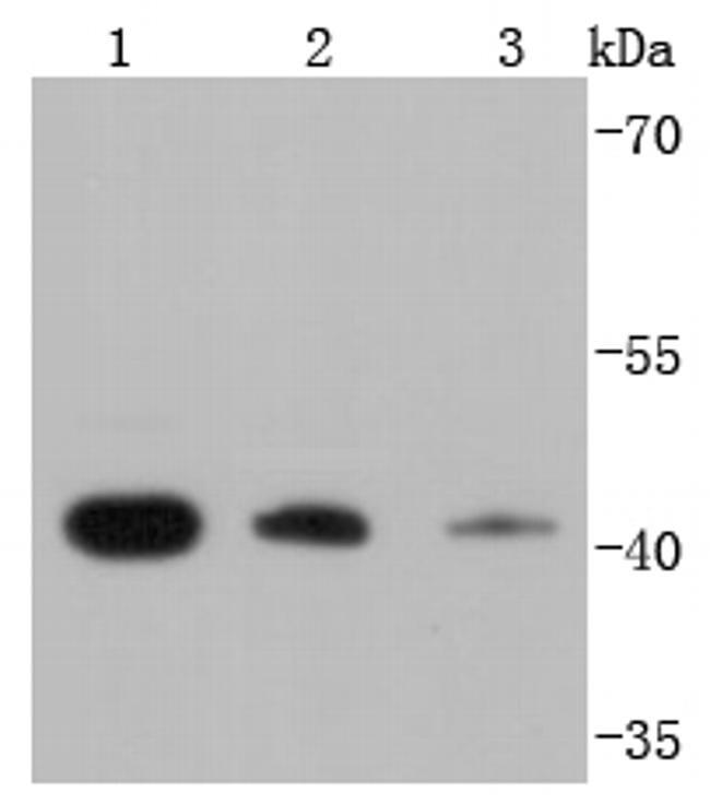 RPSA Antibody in Western Blot (WB)