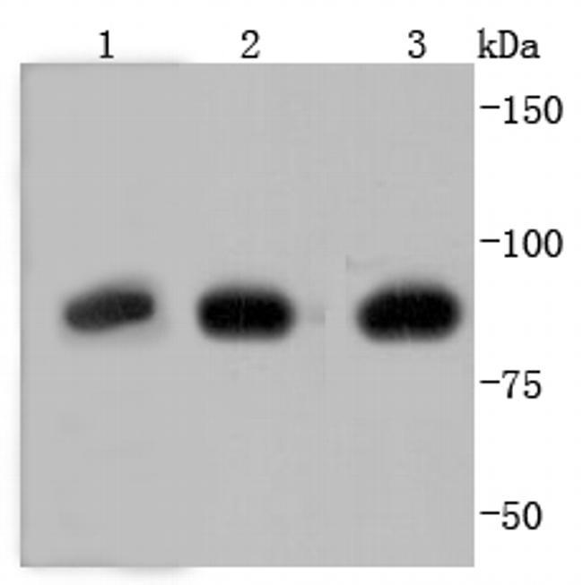 Glucocorticoid Receptor Antibody in Western Blot (WB)