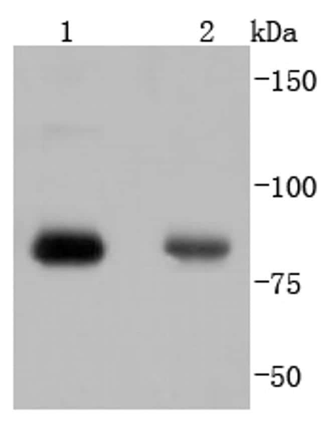 Phospho-PKC alpha (Thr638) Antibody in Western Blot (WB)