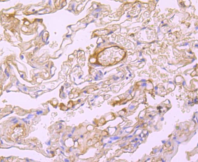 Albumin Antibody in Immunohistochemistry (Paraffin) (IHC (P))