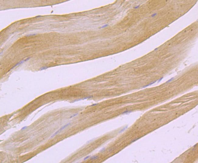 PDHA1 Antibody in Immunohistochemistry (Paraffin) (IHC (P))