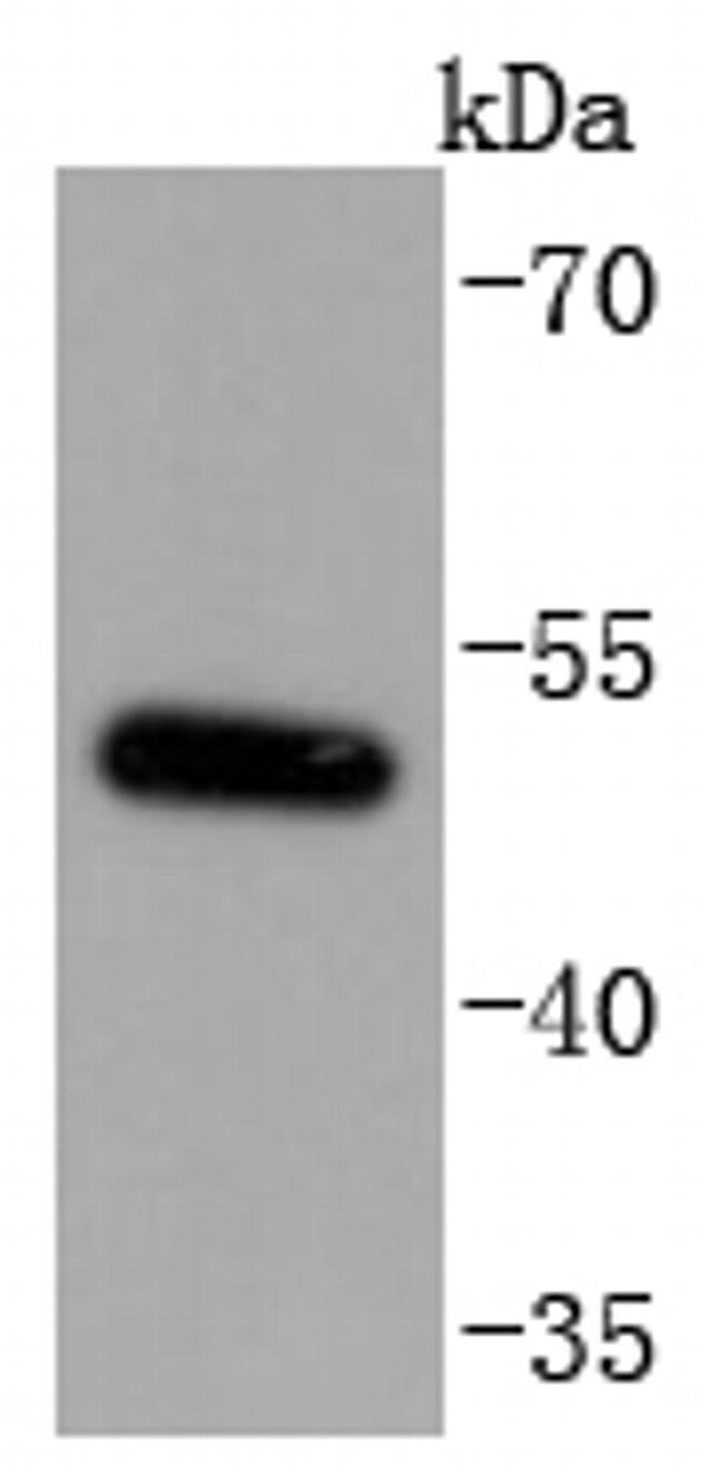 MiTF Antibody in Western Blot (WB)