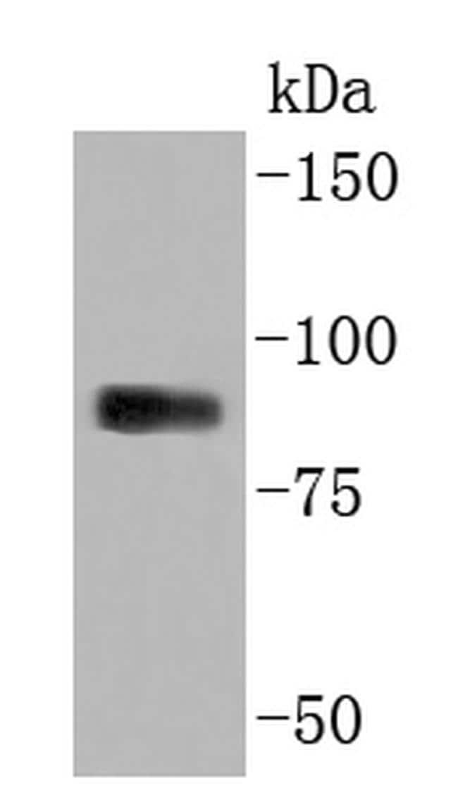 Myeloperoxidase Antibody in Western Blot (WB)