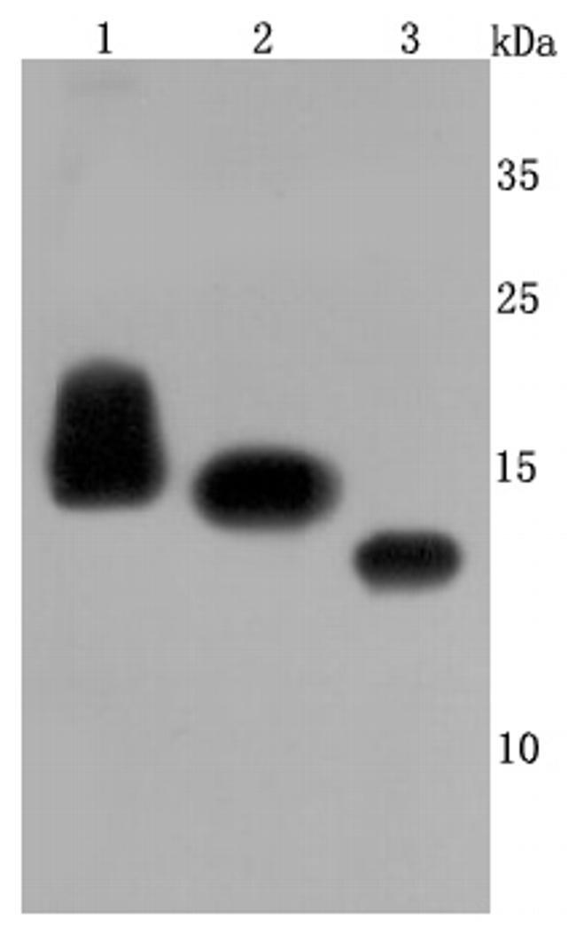 CD59 (Protectin) Antibody in Western Blot (WB)
