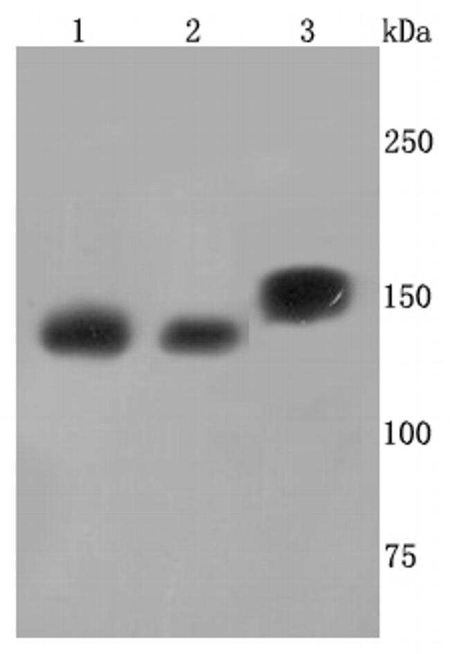 SMC3 Antibody in Western Blot (WB)