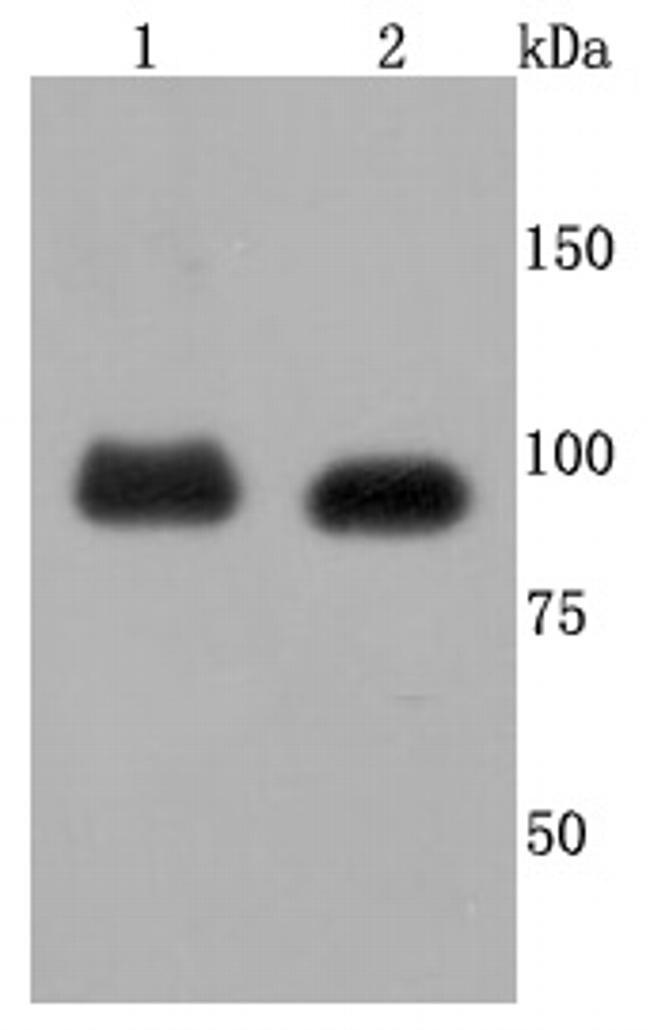 FGFR3 Antibody in Western Blot (WB)
