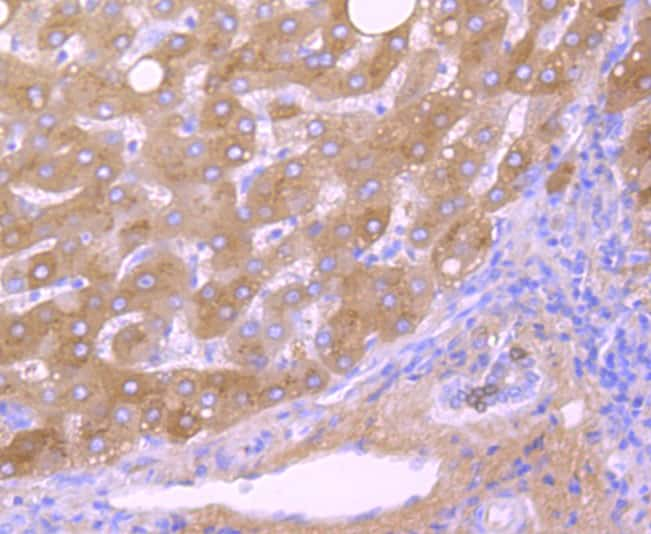 Transthyretin Antibody in Immunohistochemistry (Paraffin) (IHC (P))