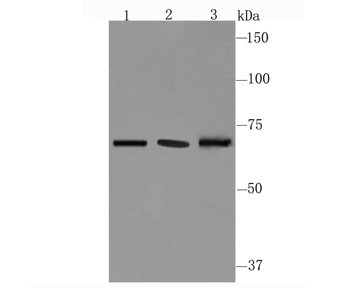 CD39 Antibody in Western Blot (WB)