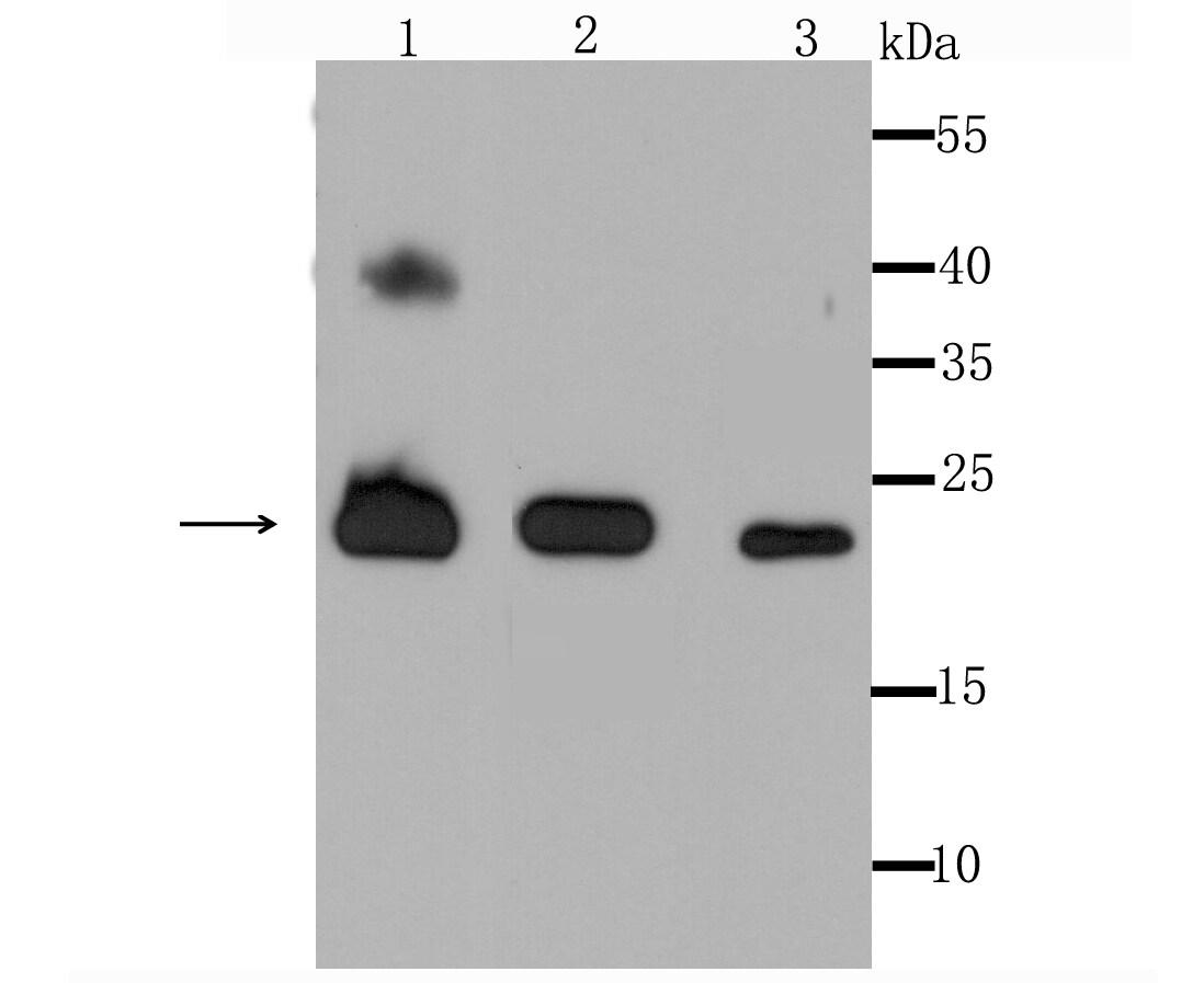 PRDX3 Antibody in Western Blot (WB)
