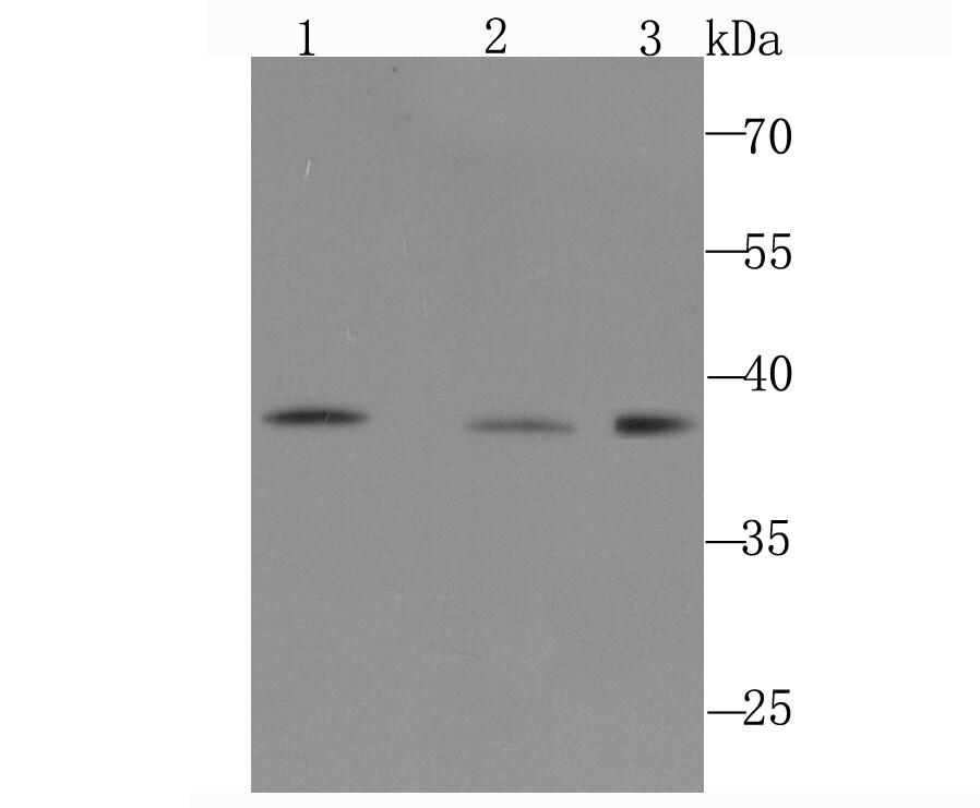 POLB Antibody in Western Blot (WB)