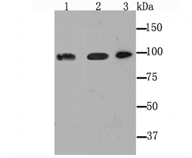 Dynamin 2 Antibody in Western Blot (WB)